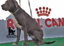 كلب الماستيف الايطالي او (cane corso)