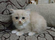 قط صغير للبيع