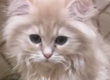 قطه شيرازيه صغيرة