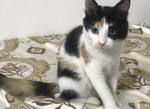 قطط للبيع : قطوه شيرازي كاليكو