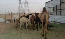 يوجد حشو عدد 12 راس غرب الرياض للبيع
