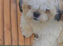مطلوب كلب شيتزو انثى للتزواج