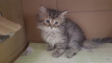 قطط سيبيري وشيرازي للبيع