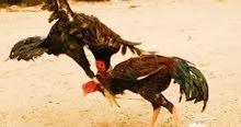 دجاج بلدي او باكستاني