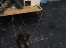 كلب زينه تيرير