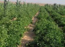 ارض زراعيه  15 فدان للبيع - الجيزة