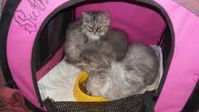 قطط شيرازي وسيبيري للبيع