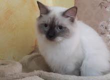 قط رغدوول انثي العمر 6شهور