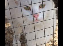 قطه شيرازي نظيفه للبيع