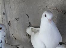 لمحبي طيور الحمام
