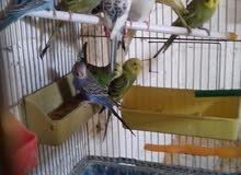 طيور حب للبيع او للبدل ع حماام