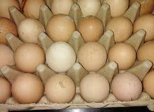 بيض دجاج الساسو