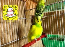 طيور حب بادجي مع فروخ