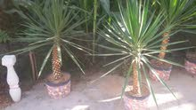 Tripoli –New Natural and Artificial Plants available for immediate sale