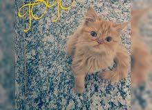 قطه هملاي هاف بيكي
