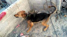 للبيع كلب جرمن شيبرد بسعر 80 الف ريال يمني