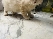 sherazi kitten for sale 3 months old
