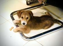 Our Carolina Dog for sale