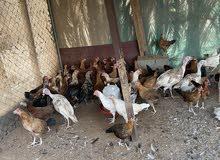 دجاج عربي وفرنسي