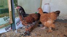 دجاجه براهما بورسلاين +دجاجه براهما بوف