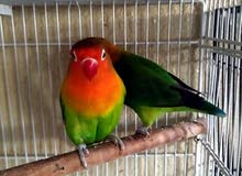 Fisher breeding pair & 1 breeding male love bird