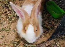 أرنب أسدي