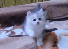 Fullfy beautiful playful Calico Persian chinchilla female kitten