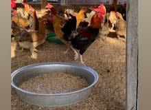 دجاج فرنسي مهجن محلي ابتداء من 5 دراهم للحبه