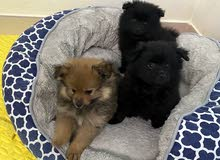 1 Pomeranian puppy left for sale