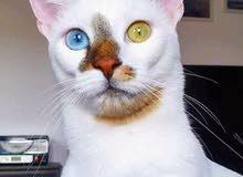 قطة للبيع ب 1500 درهم