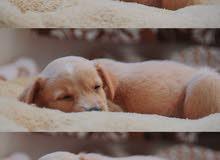 Puppy mixed golden/Leblador 2 months