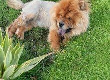 كلب تشاو تشاو وارد الخارج مطعم كل التطعيمات عمره سنه ونصف ذكر