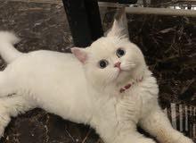 قطه بيضاء