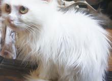 قطة شيرازي بيور صغيرة