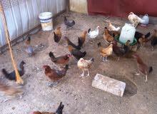 3دجاجات وطنية وديك