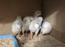 فراخ دجاج سوكسس نكليزي عمر 10 يام البيع