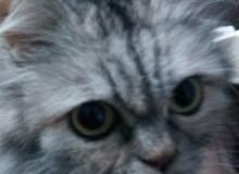 قطة منزلية