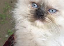 قطط للبيع من ام مون فيس واب شيرازي