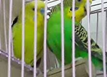 طيور بدجي للبيع