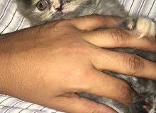 قطه صغيرة أنثى هاف فيس