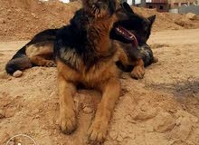 كلاب جيرمان شيبرد