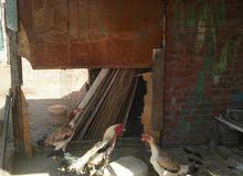 دجاج هندى