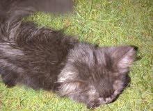 قطه فاريسه عمرها 3 شهور
