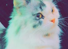 قطه للبيه