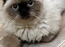 قط ذكر من نوع هيمالايا