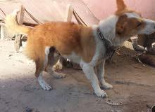 كلب امريكي قزم اصفر