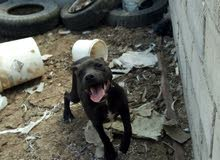 كلب بيتبول جيد للبيع)