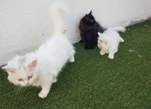 قطط شيرازية ذكر و انثي