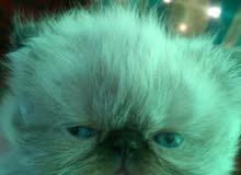 3 قطط  صغيرة هيمالايا بيكي فيس