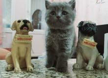 للبيع قطط بريتش مطعمه،توصيل لكل الامارات delivery to all uae